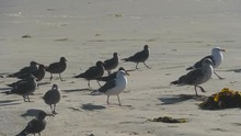 Seagull Chicks And Adults Walk...