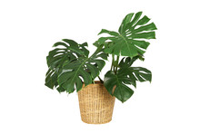 Home Plant Monstera In Straw Basket Flowerpot Isolated On White Background.