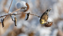 Western Tanager Resting On A Branche, Feeding On Seeds, On A Winter Day