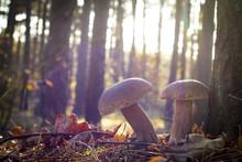 Nice Two Mushrooms In Oak Wood