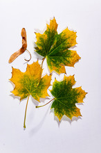 Maple Tree Leaves And Seedpod On A White Background.
