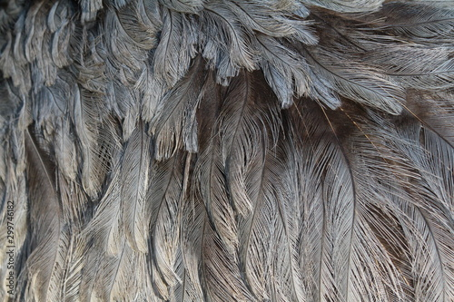 Poster Struisvogel nandu