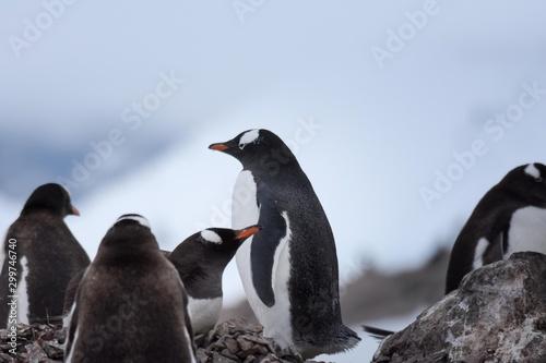 manchot papou en antarctique Canvas-taulu