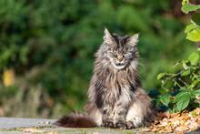 Getigerte Maine Coon Katze Put...