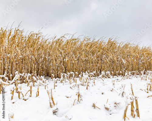 Vászonkép Cornfield with cornstalks and ears of corn covered in snow