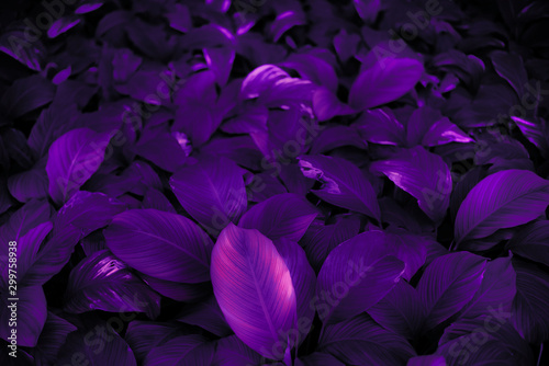 The concept of the leaves of Cannifolium spathiphyllum Abstract blue-purple surface in a tropical forest - 299758938