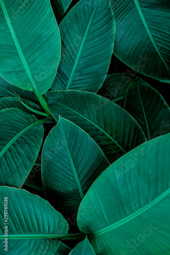 tropical banana leaf texture in garden, abstract green leaf, large palm foliage nature dark green background - 299764588