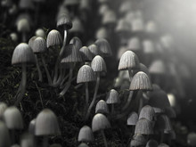 Small Poisonous Mushrooms Toadstool On Dark Background