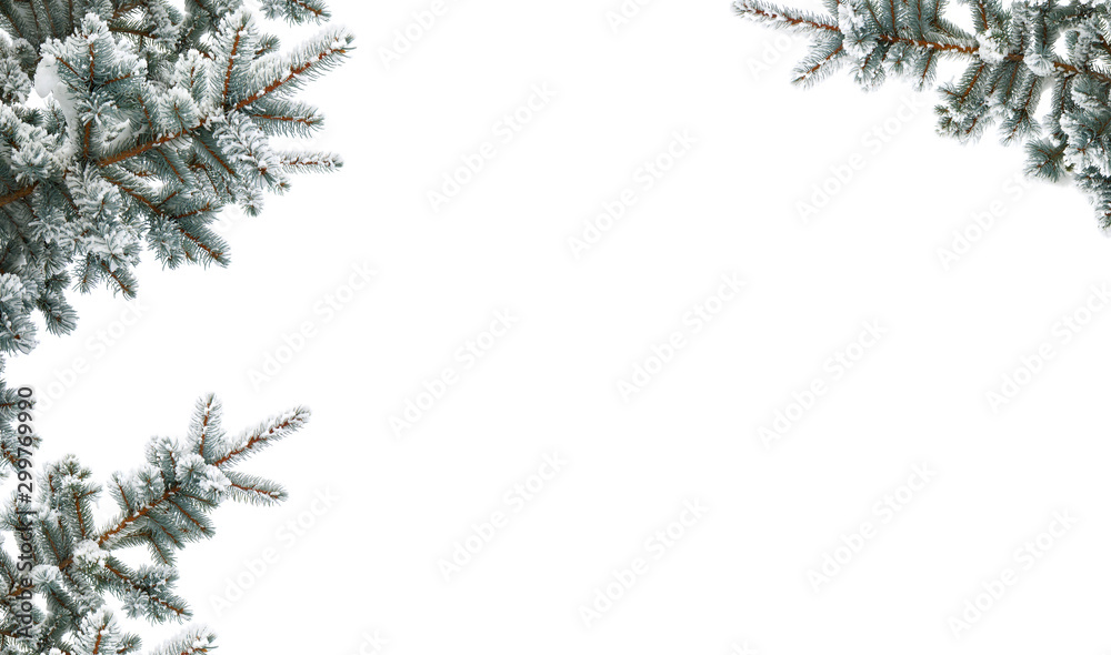 Fototapety, obrazy: Twigs of christmas tree (spruce Picea pungens) covered hoarfrost and in snow on a white background with space for text