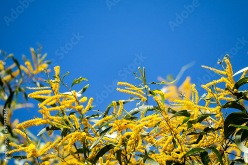 Photo Wattle or Acacia auriculiformis little bouquet flower full blooming in the garde