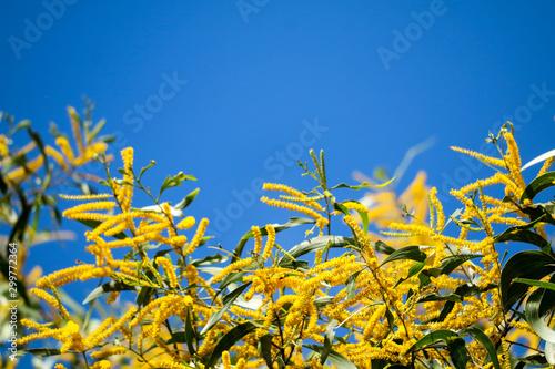 Wattle or Acacia auriculiformis little bouquet flower full blooming in the garde Wallpaper Mural
