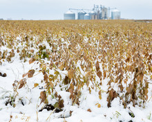 Soybean Farm Field With Pods And Plant Stems Covered In Snow. Grain Storage Bins In Background. An Early Winter Snowstorm In Illinois Had Stopped The Late Harvest Season