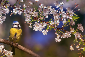 Fototapeta Ptaki beautiful little bird tit azure sits on a branch of a flowering white cherry in the may garden and sings a song