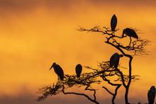 Marabou Storks (Leptoptilos Crumeniferus) Perching On A Tree At Sunrise, Tanzania