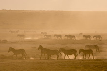 Plains Zebras (Equus Quagga) Walking In Dust At Sunset In The Hidden Valley, Tanzania