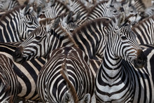 A Herd Of Plains Zebras (Equus...