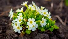 White Primrose Flowers On Black Soil, Spring Flowers_
