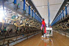 Workers Install Automatic Milking Machines For Cows In A Cattle Farm, Luannan County, Hebei Province, China