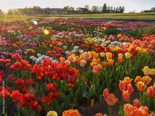 landscape with colorful tulip field