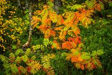 Rowan Trees In Autumn Color