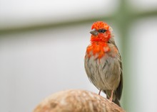 Closeup Shot Of A House Finch Bird With Red Feathers On The Face On A Blurred Background