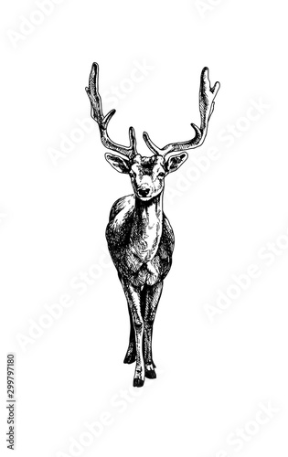 Fototapeta Hatching fallow deer obraz