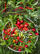 Variety Of Freshly Picked Hot Peppers
