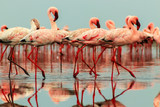 Wild african birds. Groupe of red flamingo birds on the blue lagoon.