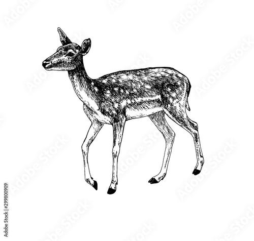 Photo Fallow deer doe walking