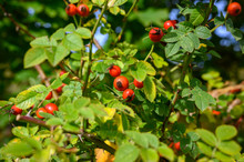 Bright Red Rose Hips In Autumn.