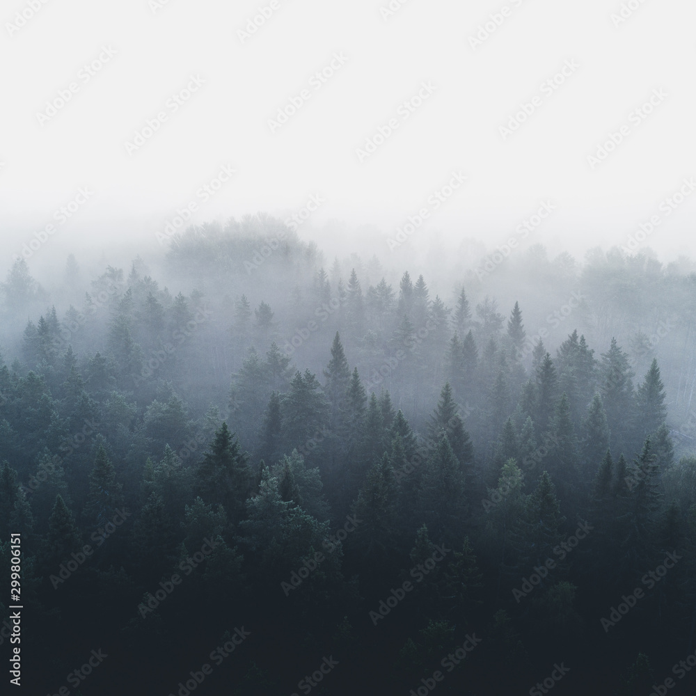 Fototapety, obrazy: Pine forest in early morning fog 2