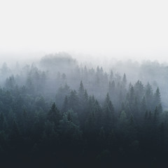 Pine forest in early morning fog 2