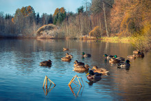 Beautiful Ducks On A Forest La...