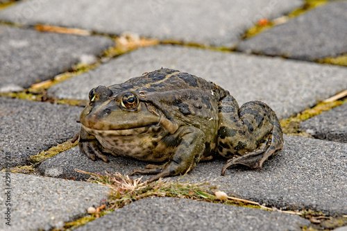 Frog sitting on the street and watching Canvas Print