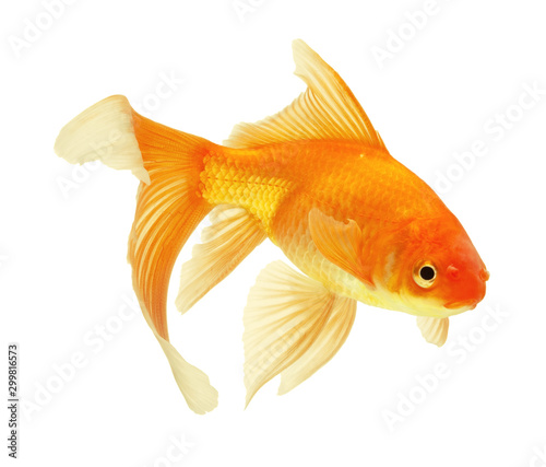 Slika na platnu gold fish