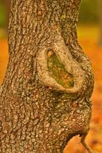 Nahaufnahme Eines Baumes Mit Wunde, Astloch Im Herbst