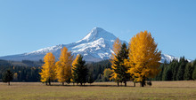Mt Hood With Bright Yellow Tre...