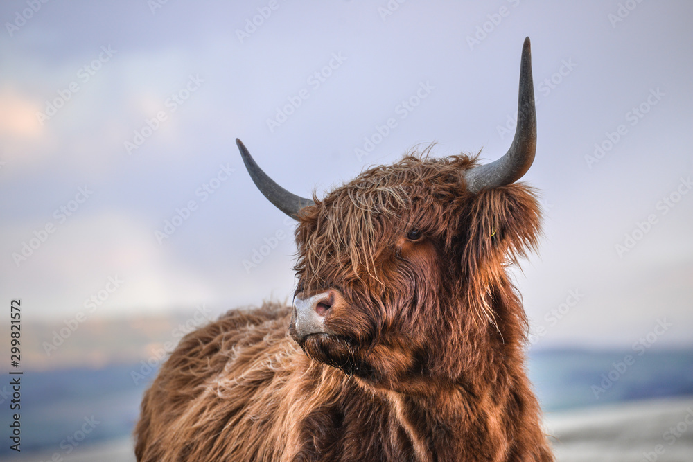 Fototapeta highland cow headshot