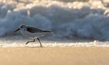 Sanderling Running Along The B...