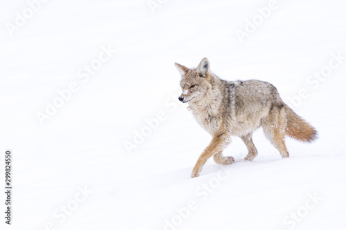 Tela A coyote (Canis Latrans) traveling through a snowy landscape in Yellowstone, Wyoming, USA