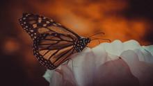 Farfalle Meravigliose In Un Am...