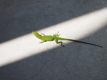 The Green Lizard Basks In The ...