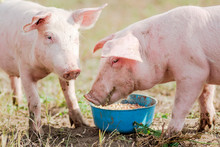 Feeding Two Pigs Eating