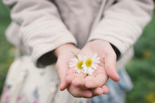 Little Girl's Hands Holding Two Flowerheads Of Wearing Chamomil, Close-up