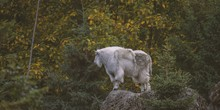 Wide Shot Of A Mountain Goat Standing On A Cliff With A Blurred Natural Background