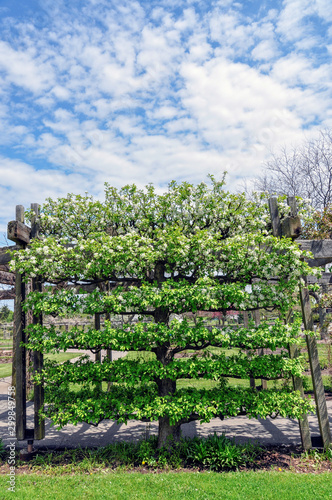 A Flowering Crabapple Tree Malus Dolgo Has Been Trained In The