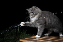 Young Curious Blue Tabby Maine Coon Cat With White Paws Outdoors Playing With Water Jet In Front Of Black Background