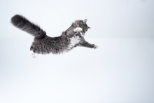 Mid Air Studio Shot Of A Young Blue Tabby Maine Coon Cat With White Spread Paws Jumping Flying In Front Of Background With Copy Space