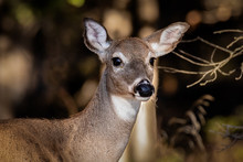 Closeup Of A Doe Standing Near The Woods.