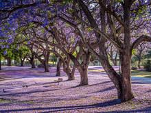 Parkland Jacaranda Trees